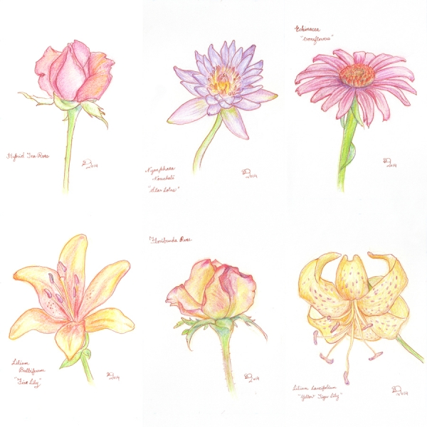 2014_colorpencil_flowers_001